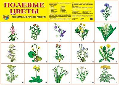 названия и фото полевых цветов