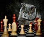 Кот и шахматы